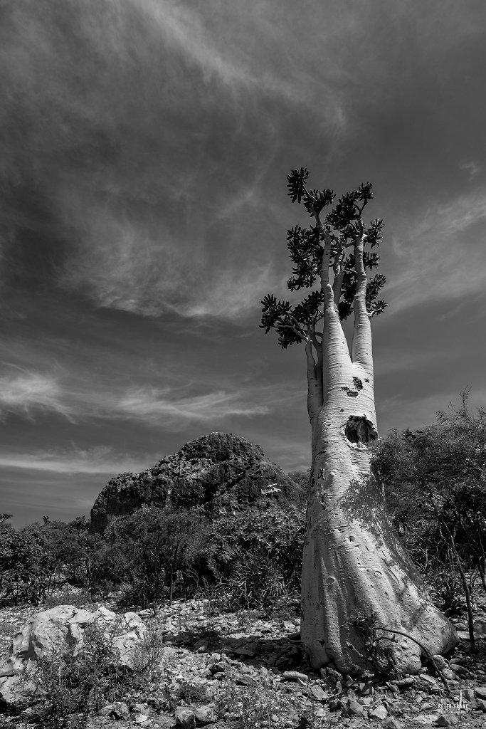 Socotra Island, Cucumber tree, 2010
