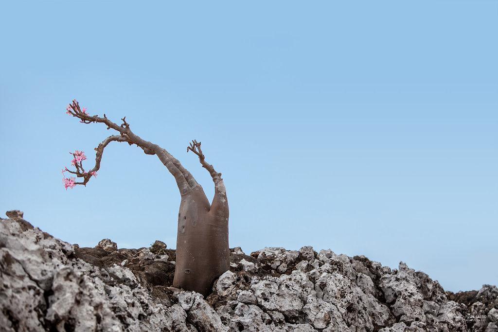 Socotra Island, Desert Rose, 2010