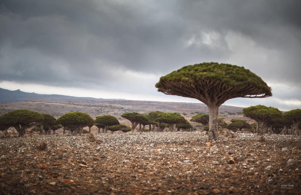 Socotra Island, Dragonsblood Trees, 2010